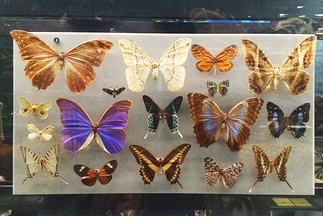 natural science museum butterflies